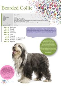 Afis Bearded Collie 50 x 70 cm