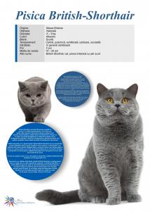 Afis Pisica British Shorthair, 50 x 70 cm
