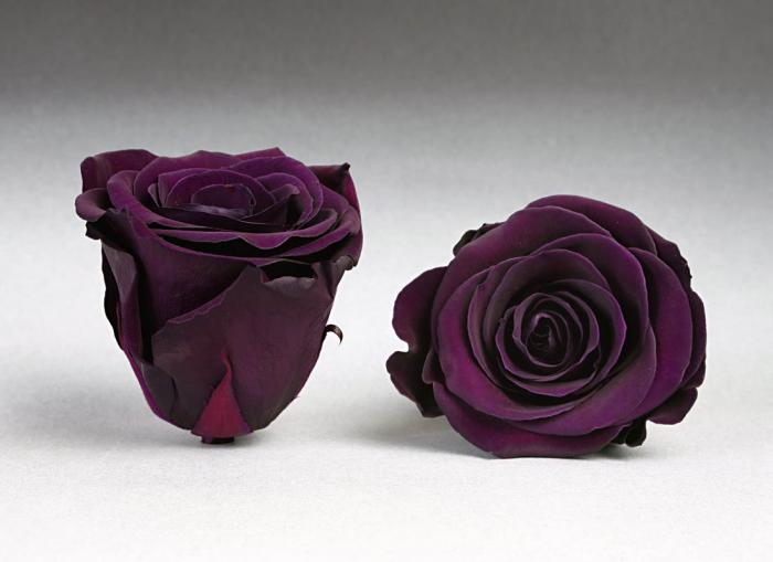 Fir de trandafir criogenat Indigo 0