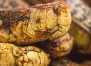 Lacuste comestibile cu Paprika
