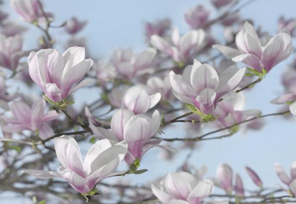Fototapet 8-738 Magnolia 0