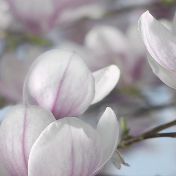 Fototapet 8-738 Magnolia 1