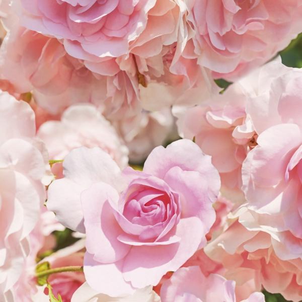 Fototapet 8-937 Rosa 1