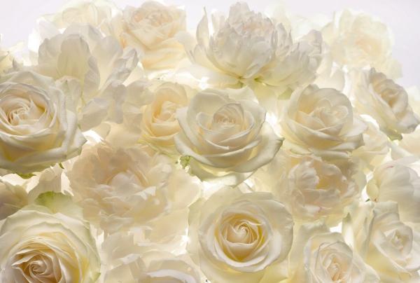 Fototapet XXL4-007 Trandafiri albi 0