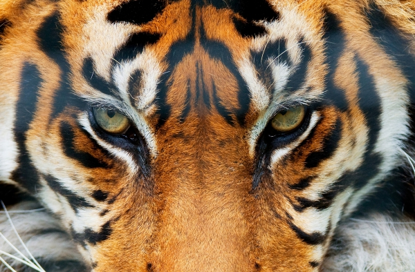 Fototapet 00608 Tigru 0