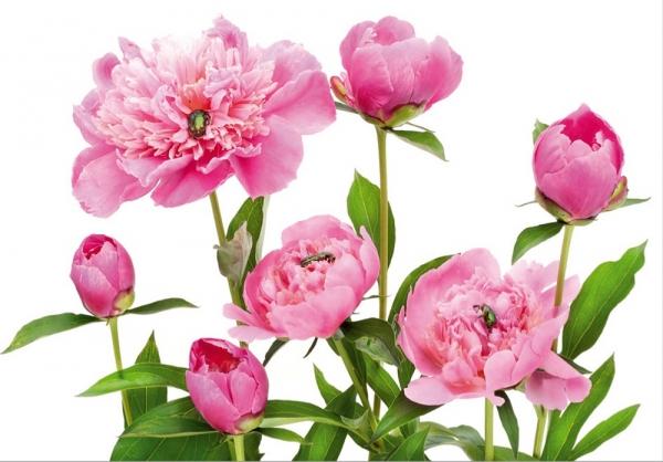 Fototapet FT 0115 Bujori roz