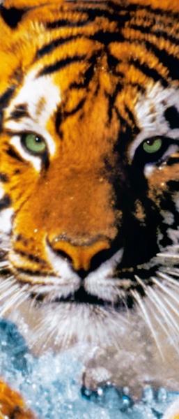 Fototapet 00590 Tigru bengalez 1