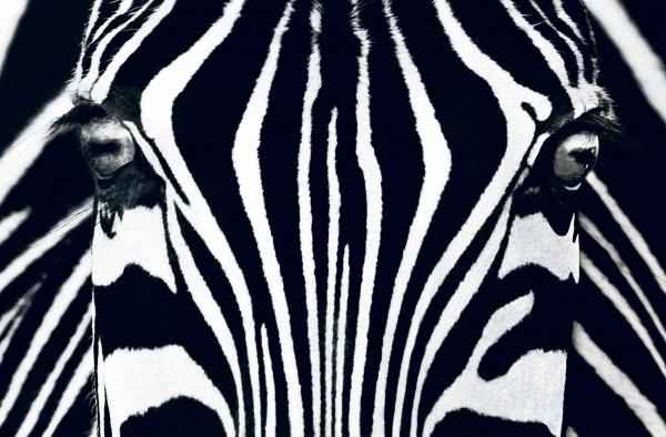 Fototapet 00684 Zebra 0