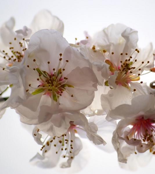 Fototapet FTL 1608 Orhidee alba 0