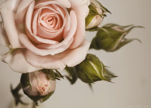 Fototapet FTM 0820 Trandafir roz 0