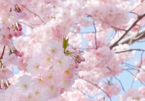 Fototapet 00155 Flori roz