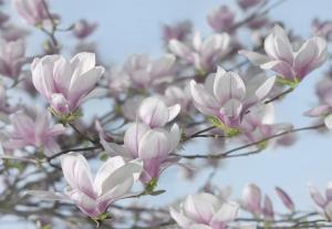 Fototapet 8-738 Magnolia0
