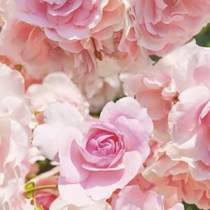 Fototapet 8-937 Rosa1