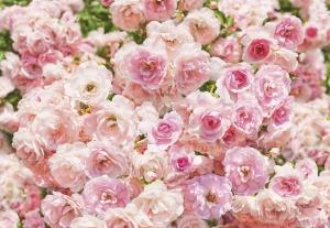 Fototapet 8-937 Rosa0