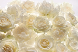 Fototapet XXL4-007 Trandafiri albi0