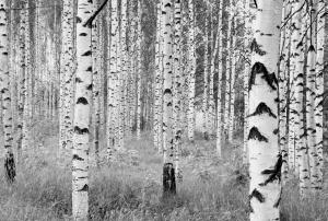 Fototapet XXL4-023 Mesteceni in alb si negru0