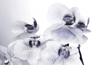 Fototapet FTS 1306 Orhidee0