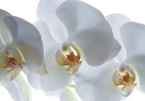 Fototapet FT 0190 Orhidee albe