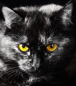 Fototapet FTL 1605 Pisica neagra0