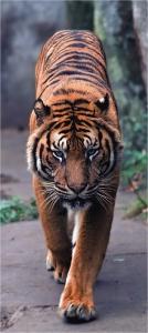 Fototapet FTV 0001 Tigru0