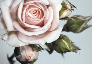 Fototapet FT 0312 Trandafiri roz