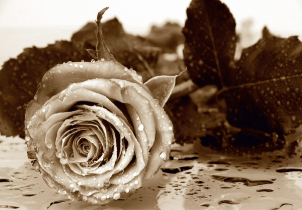 Fototapet FTS 0086 Trandafir sepia