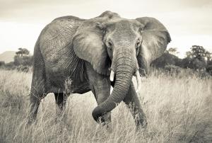 Fototapet XXL4-529 Elefant