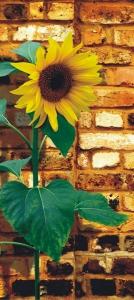 Fototapet FTV 0042 Floarea soarelui