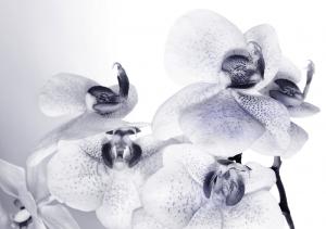 Fototapet FTS 1306 Orhidee