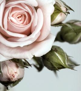 Fototapet FTL 1606 Trandafir roz