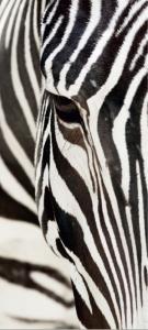 Fototapet FTV 0211 Zebra